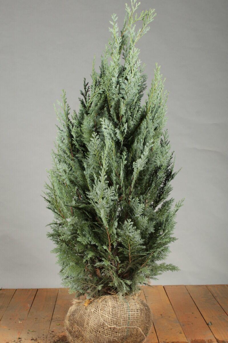 Blaue Scheinzypresse (80-100 cm) Extra Qualtität Wurzelballen