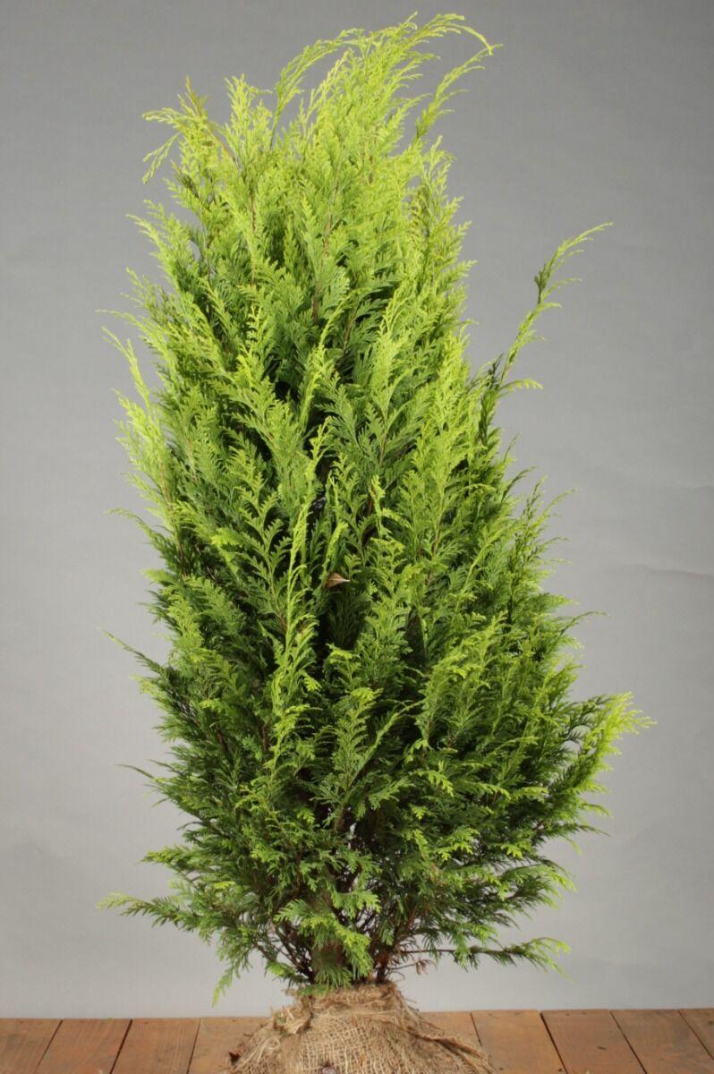 Gelbe Scheinzypresse (100-125 cm) Extra Qualtität Wurzelballen