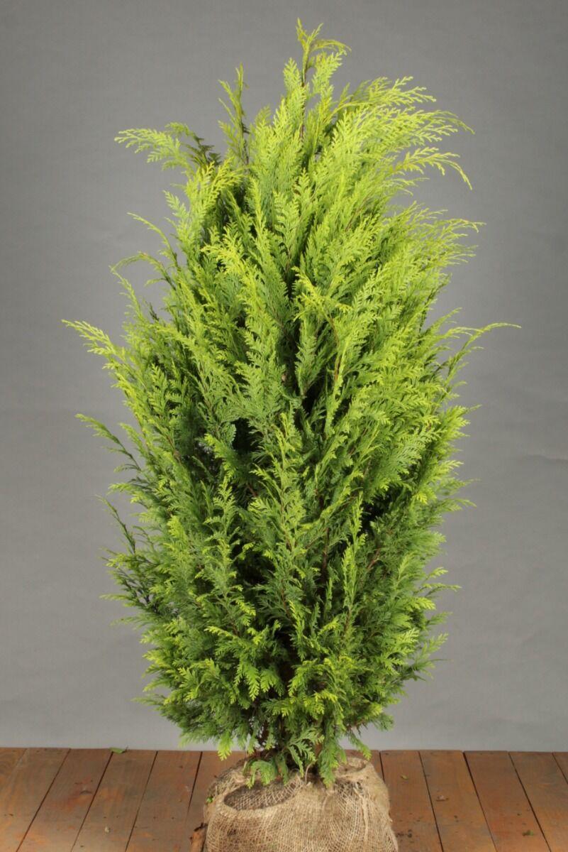 Gelbe Scheinzypresse (125-150 cm) Extra Qualtität Wurzelballen