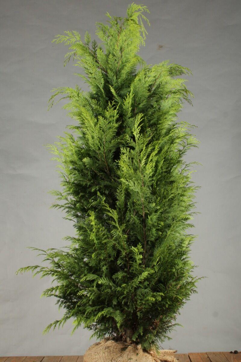 Gelbe Scheinzypresse (150-175 cm) Wurzelballen