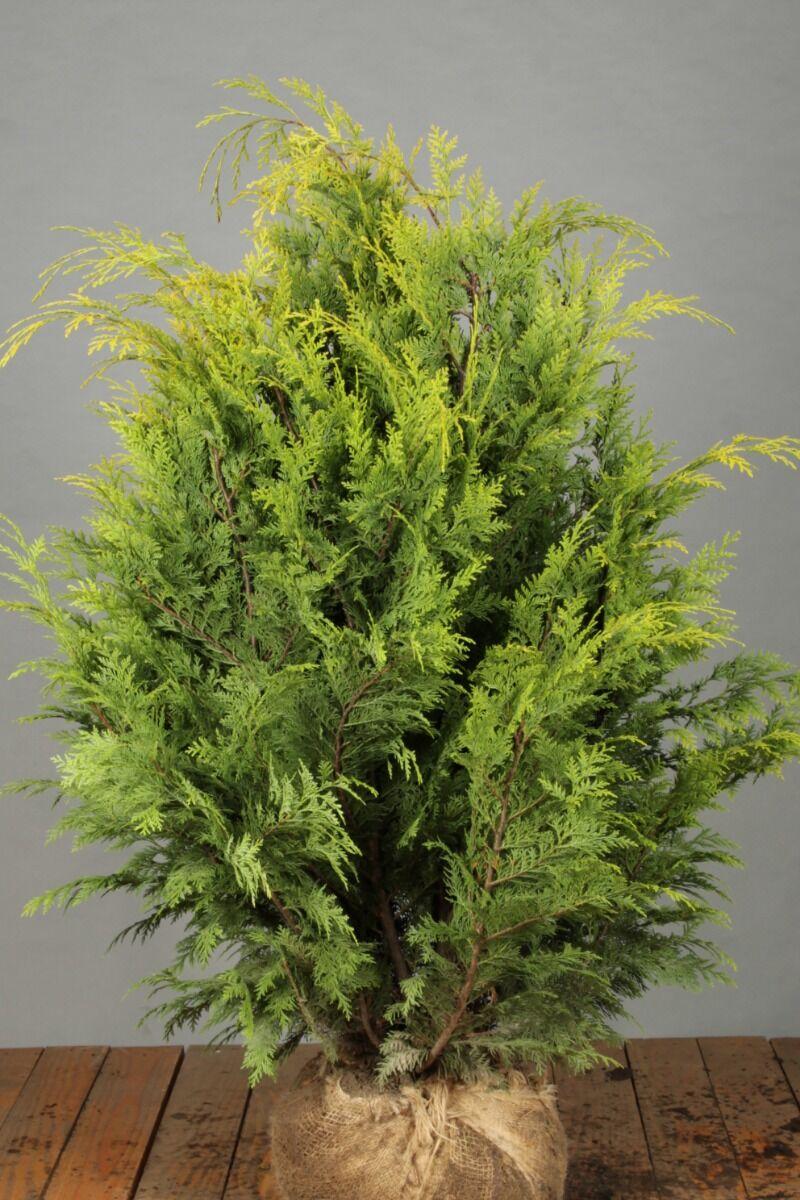 Gelbe Scheinzypresse (80-100 cm) Extra Qualtität Wurzelballen