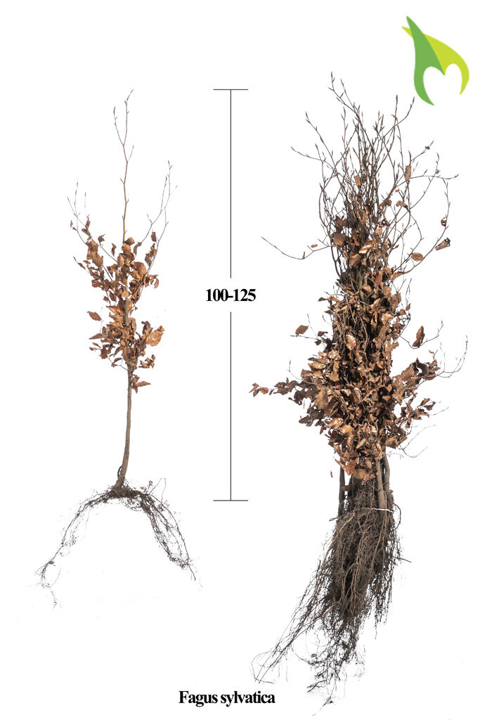 Rotbuche (100-125 cm) Wurzelware