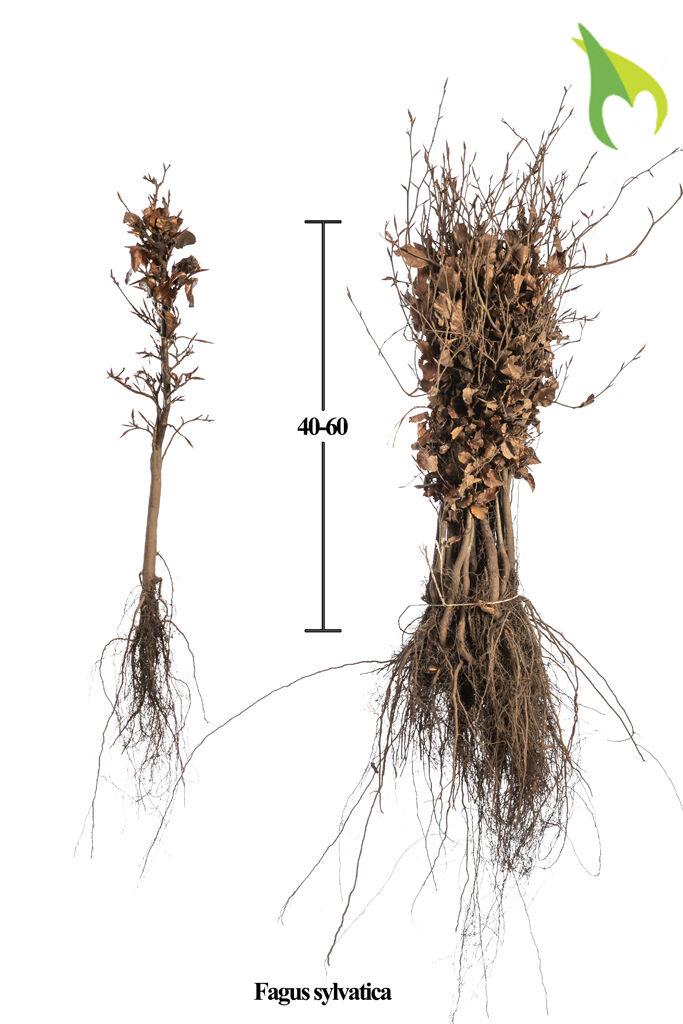 Rotbuche (40-60 cm) Wurzelware