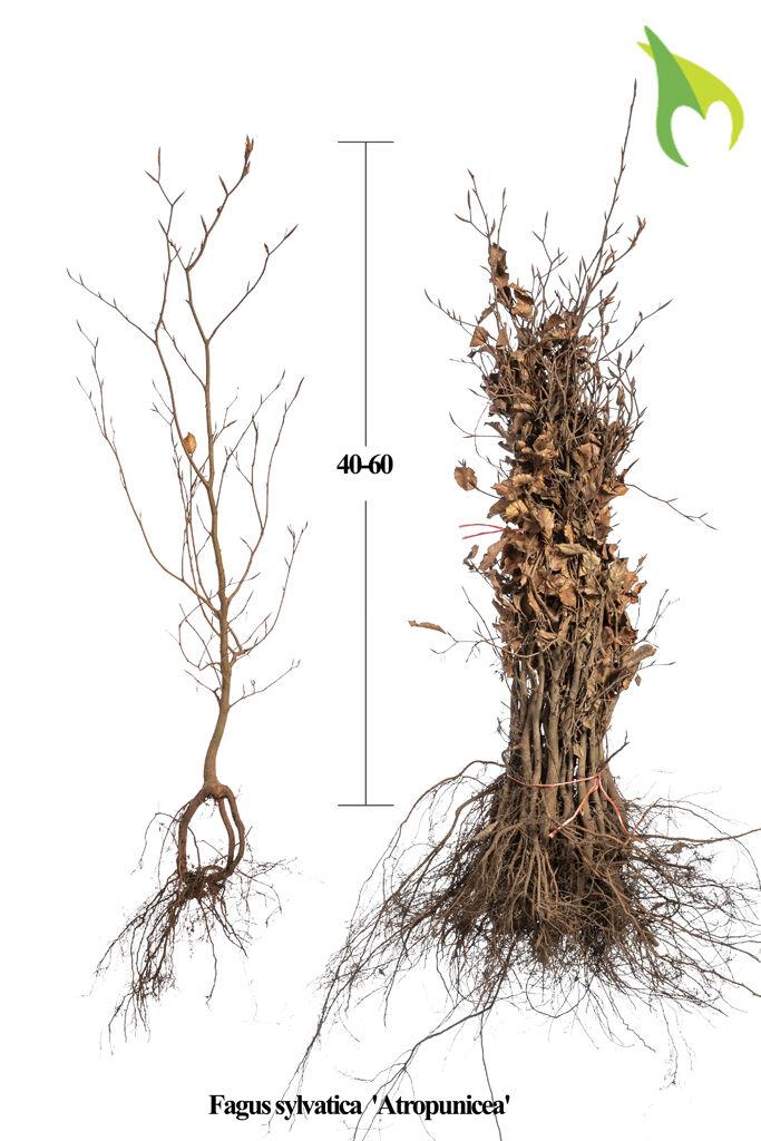 Blutbuche (40-60 cm) Wurzelware