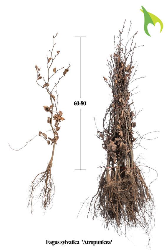 Blutbuche (60-80 cm) Wurzelware