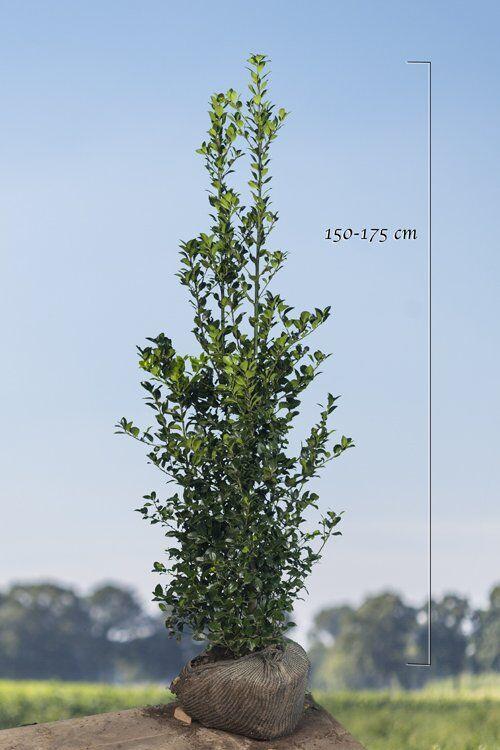 Stechplame Ilex 'Heckenfee' (150-175 cm) Wurzelballen