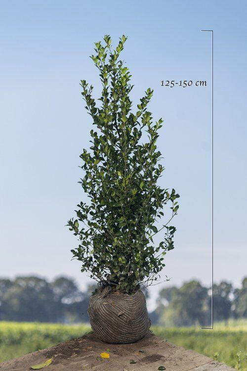Stechplame Ilex 'Heckenfee' (125-150 cm) Wurzelballen