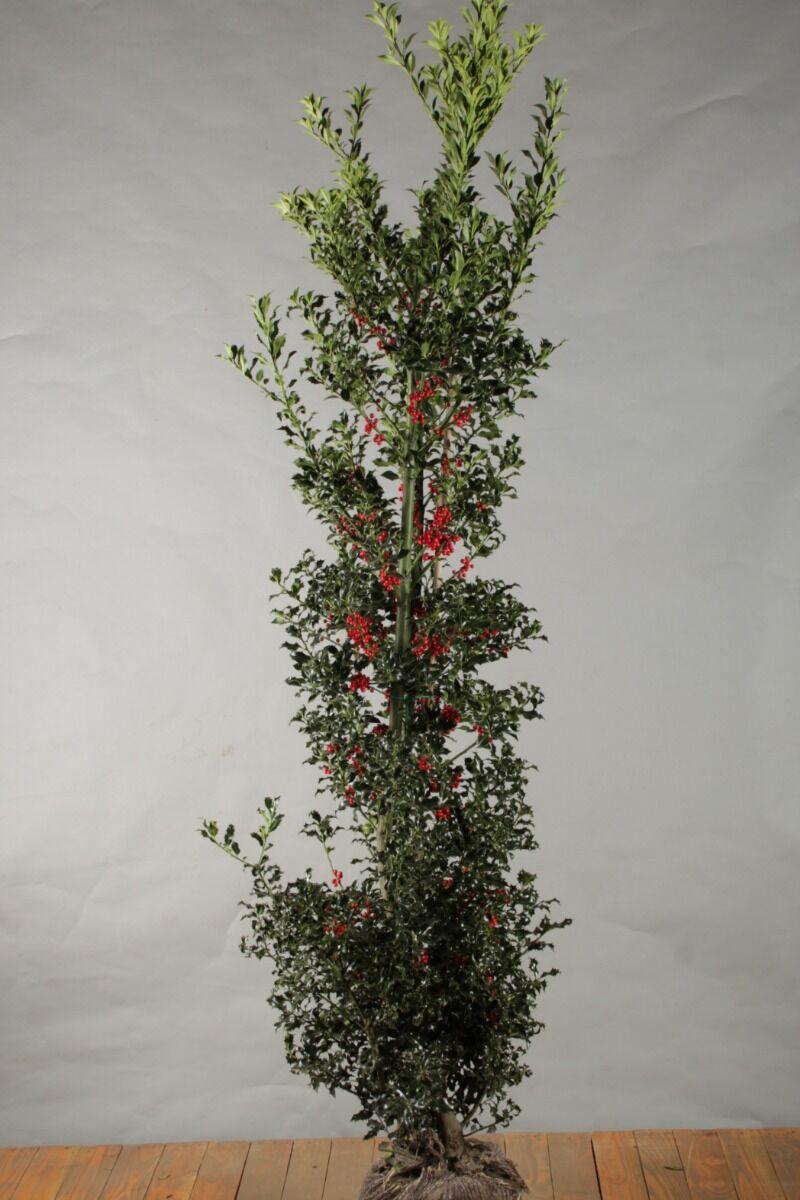Stechpalme Ilex 'Alaska' (200-225 cm) Wurzelballen