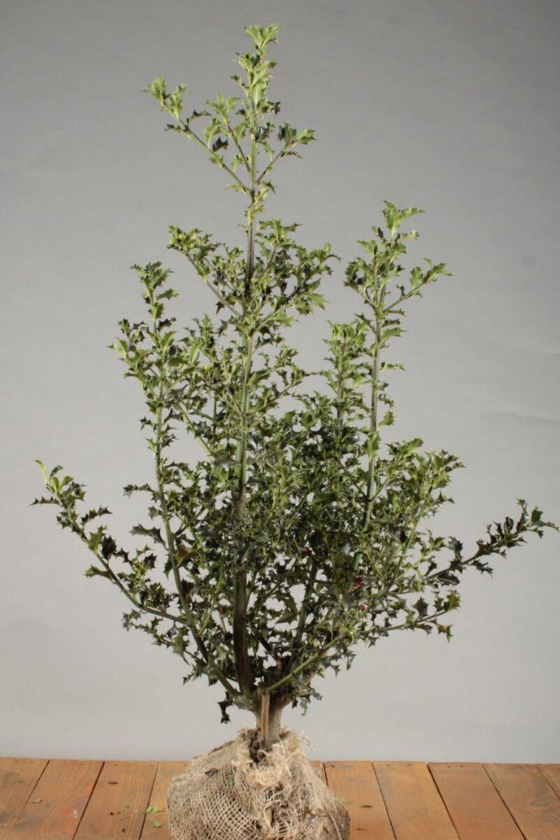 Stechpalme Ilex 'Alaska' (80-100 cm) Wurzelballen