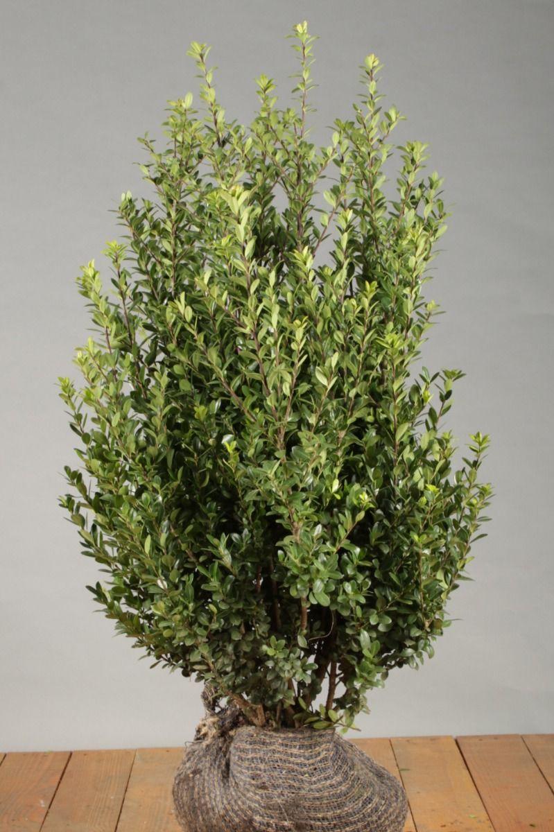 Japanische Stechpalme (60-80 cm) Wurzelballen