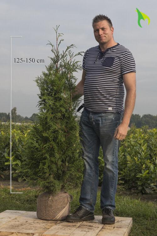 Lebensbaum 'Atrovirens' (125-150 cm) Wurzelballen