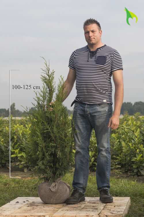 Lebensbaum 'Martin' (100-125 cm) Wurzelballen