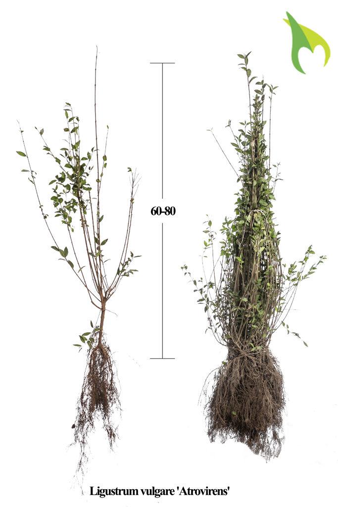 Wintergrüner Liguster 'Atrovirens' (60-80 cm) Wurzelware