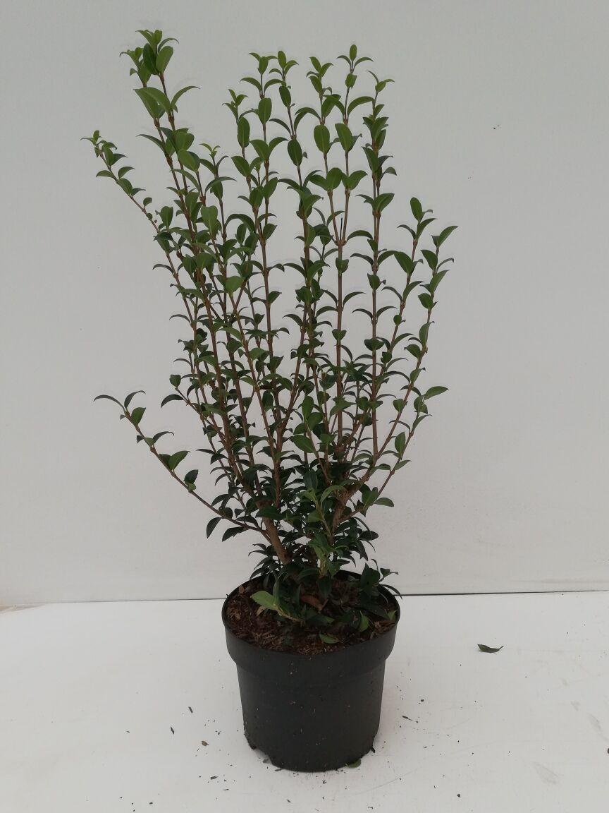 Duftblute (30-40 cm) Topf