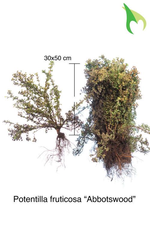 Fingerstrauch 'Abbotswood' (30-50 cm) Wurzelware