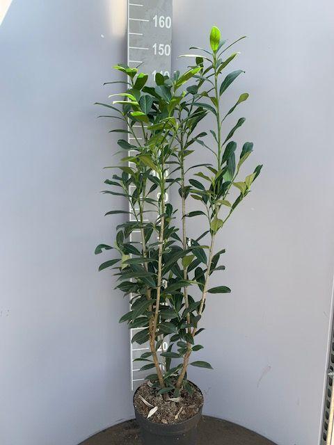 Kirschlorbeer 'Caucasica' (125-150 cm) Topf