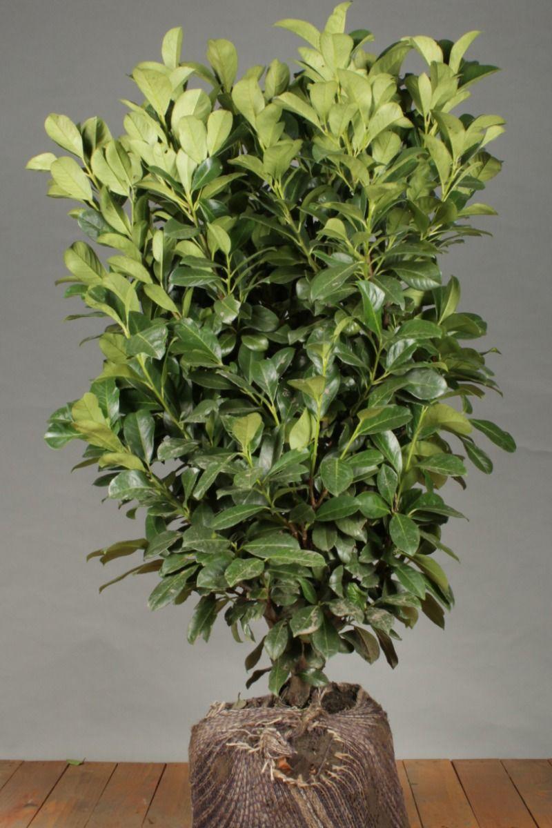 Kirschlorbeer 'Etna' (100-125 cm) Extra Qualtität Wurzelballen