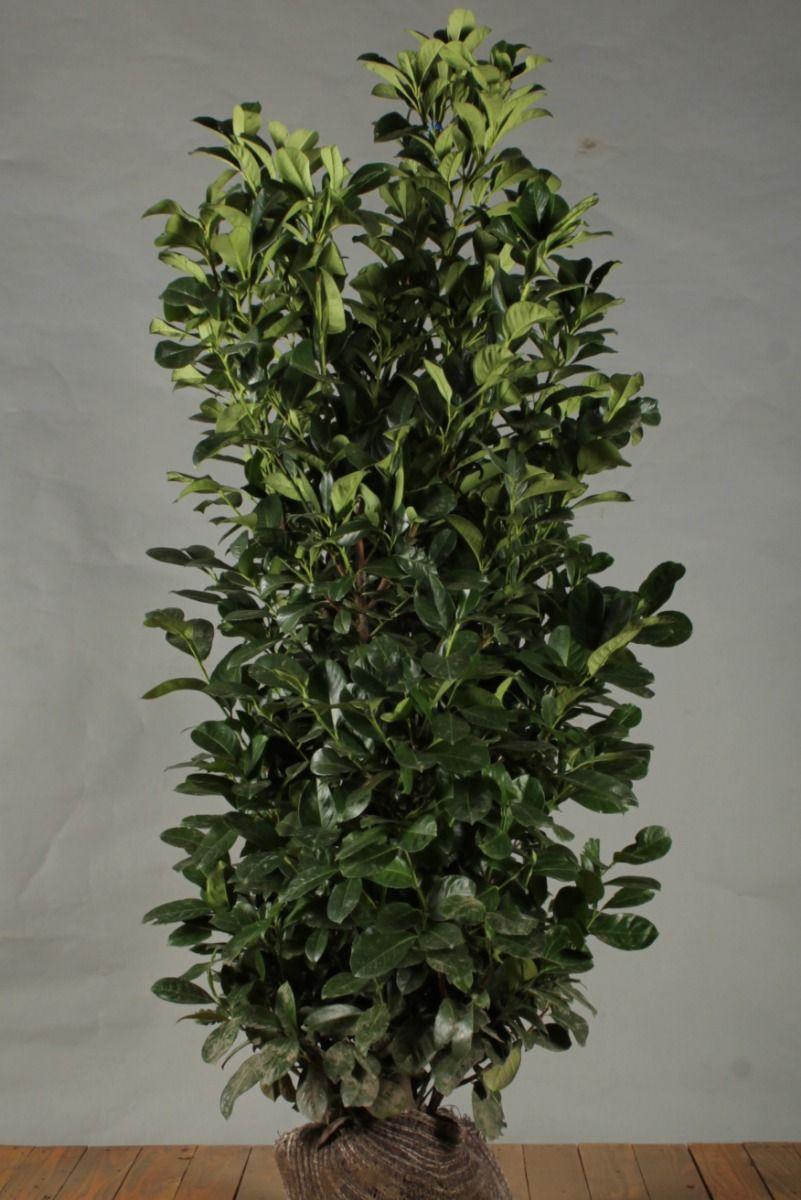 Kirschlorbeer 'Etna' (150 -175 cm) Extra Qualtität Wurzelballen