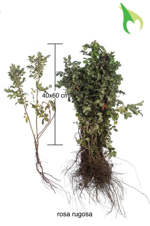 Kartoffelrose - Apfelrose (40-60 cm) Wurzelware