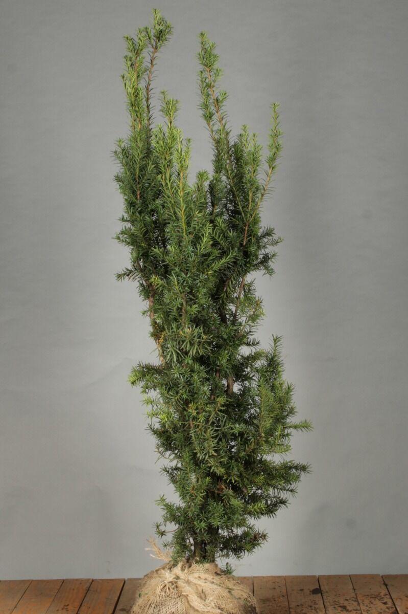 Becher-Eibe 'Hicksii' (100-125 cm) Wurzelballen