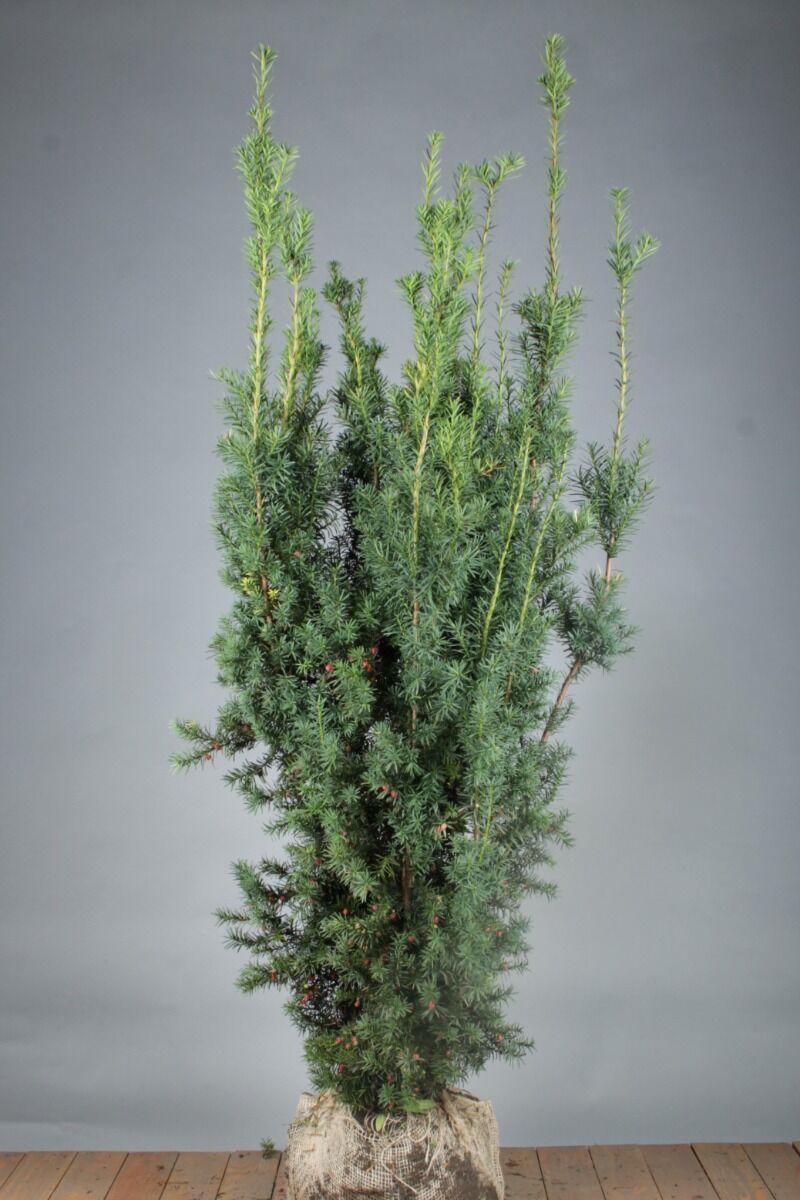Becher-Eibe 'Hicksii' (150-175 cm) Extra Qualtität Wurzelballen