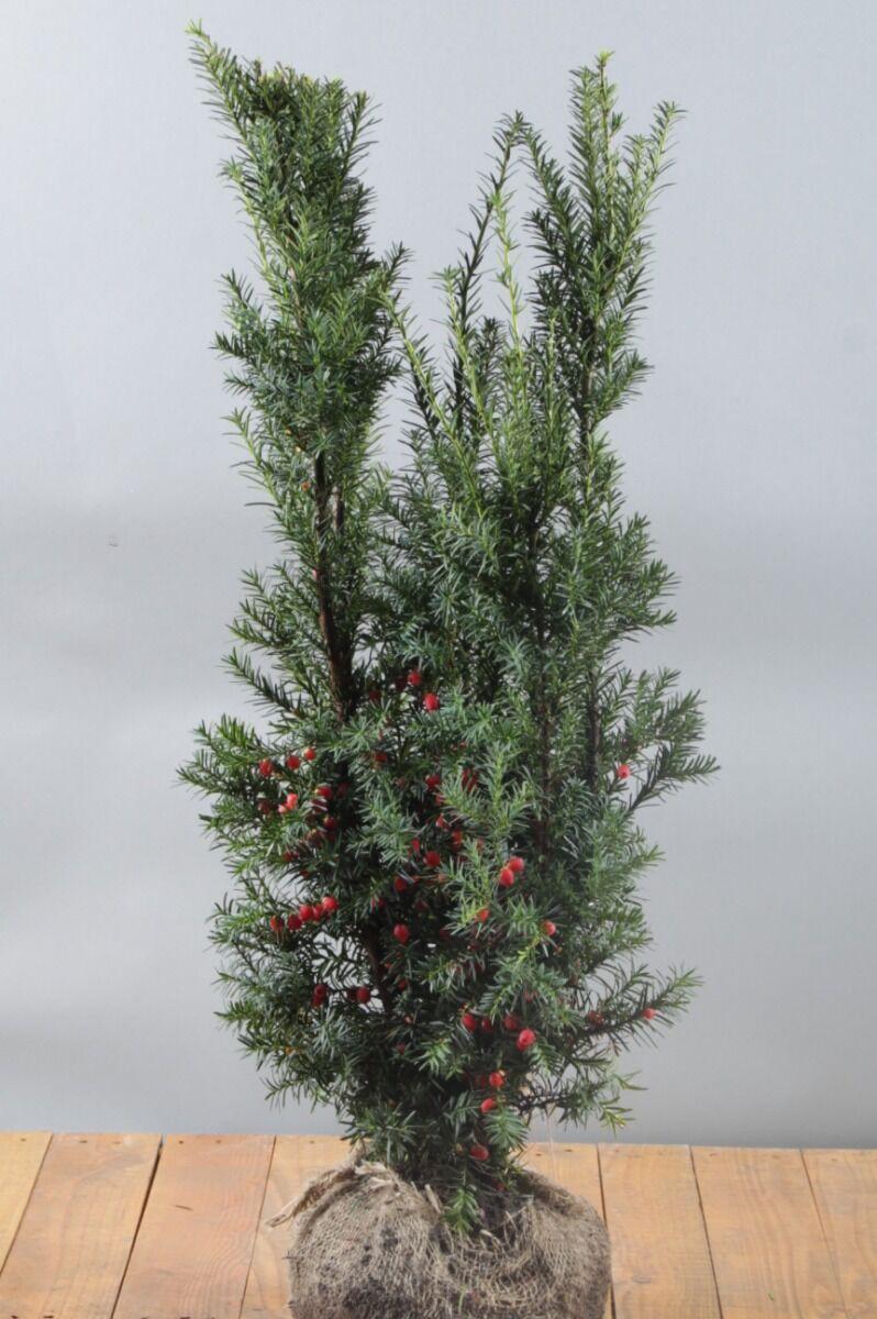 Becher-Eibe 'Hicksii' (60-80 cm) Wurzelballen