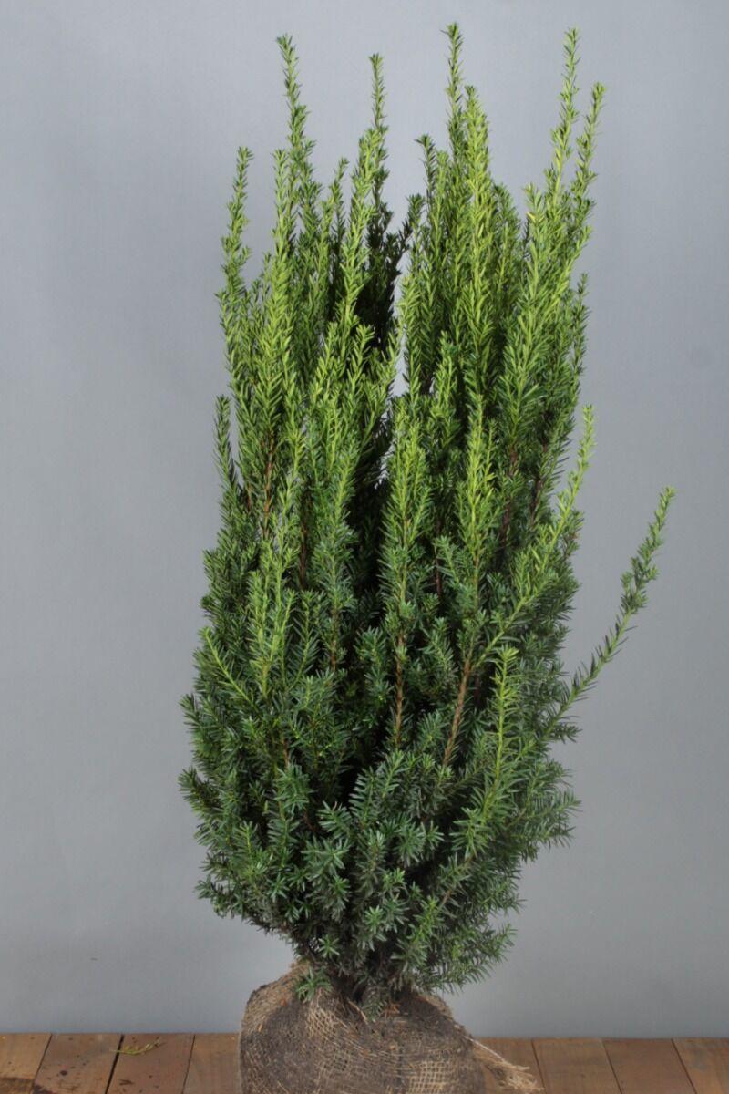 Becher-Eibe 'Hilli' (100-125 cm) Extra Qualtität Wurzelballen