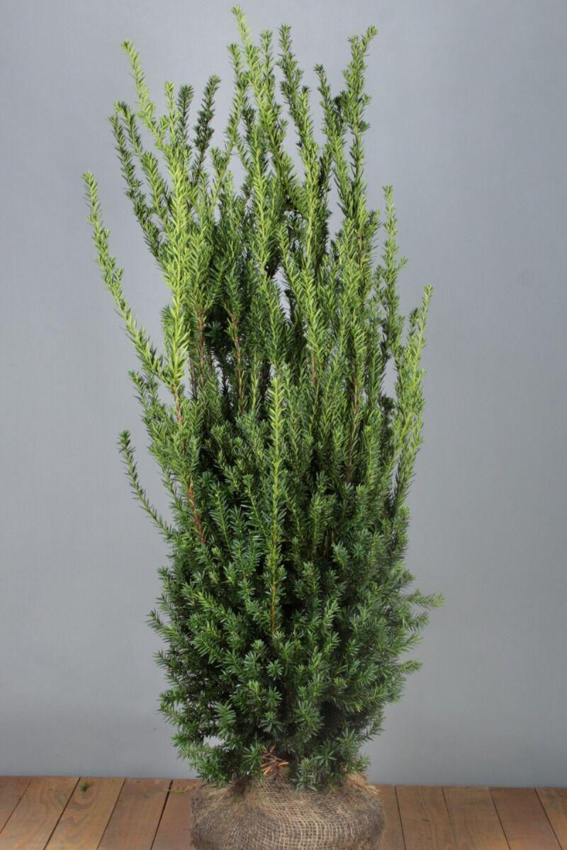 Becher-Eibe 'Hilli' (125-150 cm) Extra Qualtität Wurzelballen