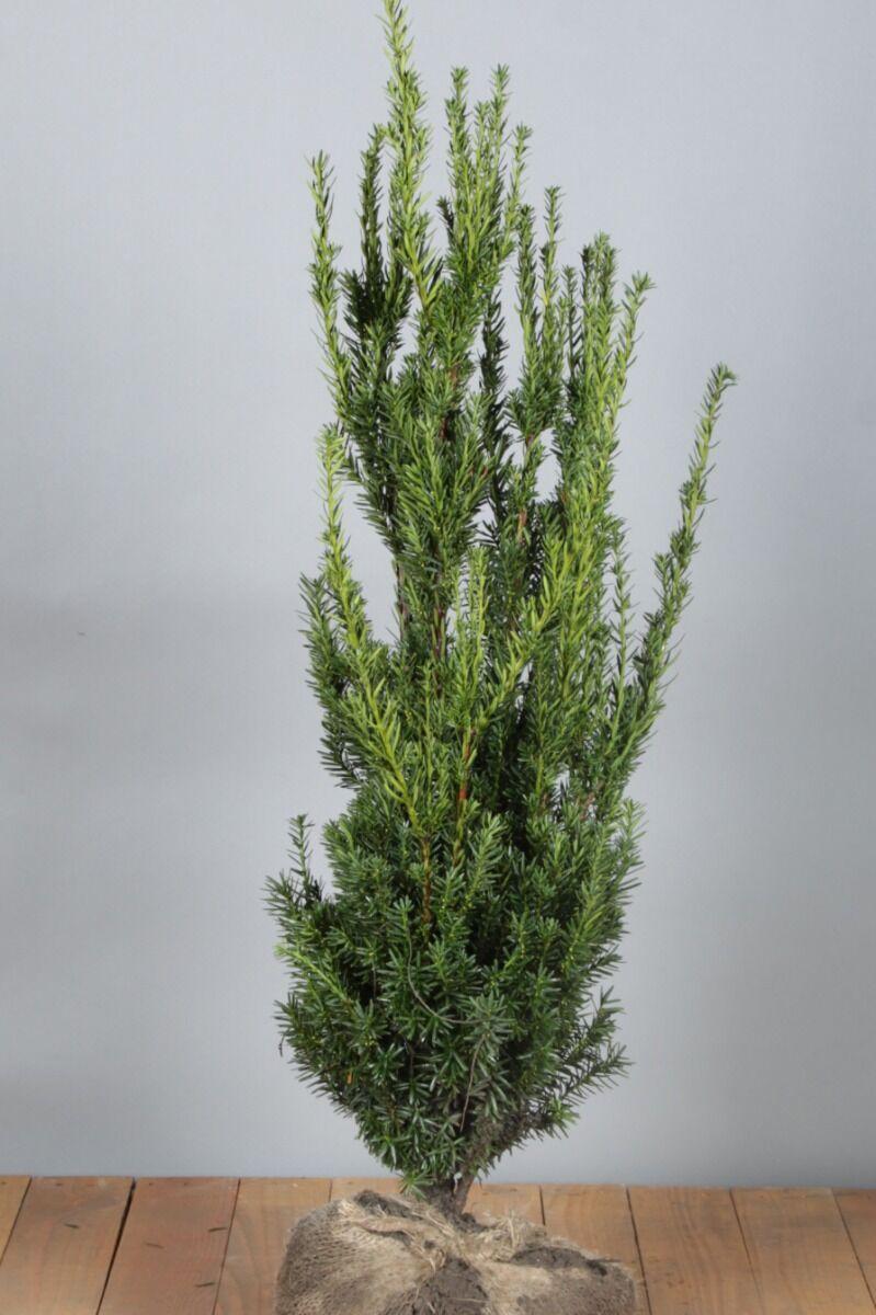 Becher-Eibe 'Hilli' (60-80 cm) Wurzelballen