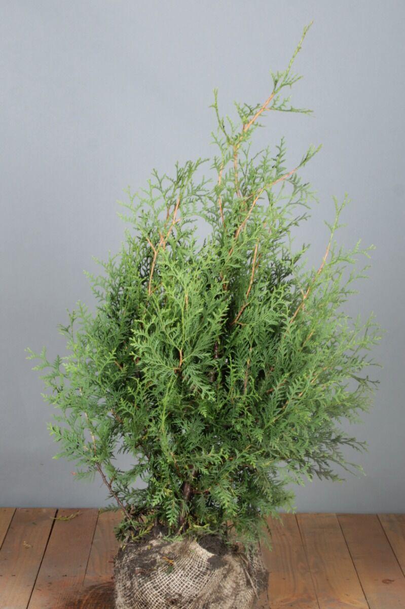 Lebensbaum 'Brabant' (80-100 cm) Extra Qualtität Wurzelballen