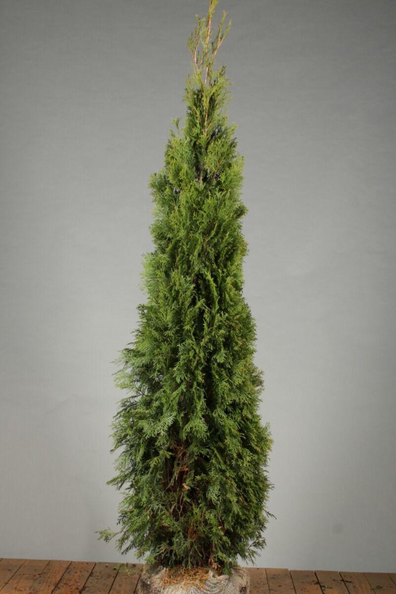 Lebensbaum 'Smaragd' (175-200 cm) Extra Qualtität Wurzelballen