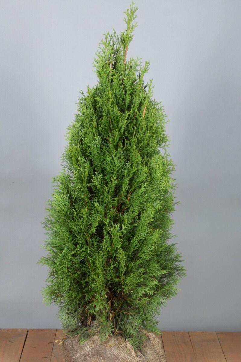 Lebensbaum 'Smaragd' (80-100 cm) Extra Qualtität Wurzelballen