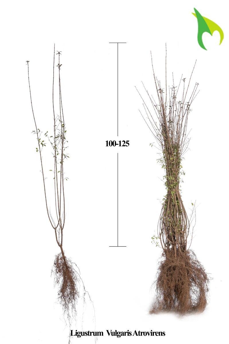 Wintergrüner Liguster 'Atrovirens' (100-125 cm) Wurzelware